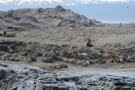 tierra: South American sea lion, Otaria flavescens, breeding colony and haulout on small islets just outside Ushuaia.