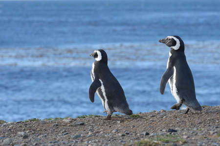 magellan: Magellanic Penguins Spheniscus magellanicus at the penguin sanctuary on Magdalena Island in the Strait of Magellan near Punta Arenas in southern Chile. Stock Photo