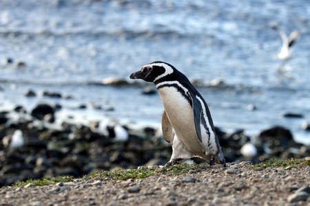 magdalena: Magellanic Penguins Spheniscus magellanicus at the penguin sanctuary on Magdalena Island in the Strait of Magellan near Punta Arenas in southern Chile. Stock Photo
