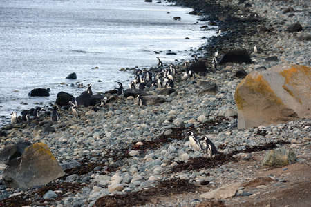strait of magellan: Magellanic Penguins at the penguin sanctuary on Magdalena Island in the Strait of Magellan near Punta Arenas in southern Chile. Stock Photo