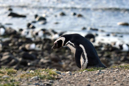 magdalena: Magellanic Penguins at the penguin sanctuary on Magdalena Island