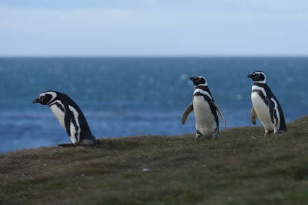 magellan: Magellanic Penguins at the penguin sanctuary on Magdalena Island in the Strait of Magellan near Punta Arenas in southern Chile. Stock Photo