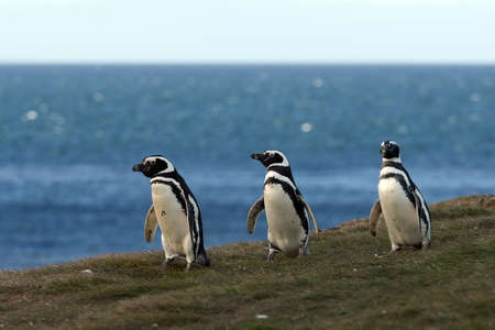 punta arenas: Magellanic Penguins at the penguin sanctuary on Magdalena Island in the Strait of Magellan near Punta Arenas in southern Chile. Stock Photo