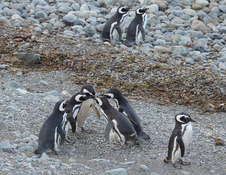 Magellanic Penguins Magellan 해협의 막달레나 섬에있는 펭귄 성역에서, 남부 칠레의 푼타 아레나스 근처.