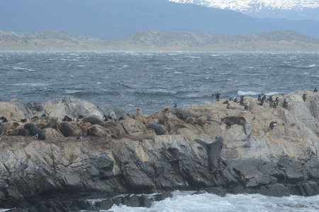 warm blooded: South American sea lion, Otaria flavescens, breeding colony and haulout on small islets just outside Ushuaia.