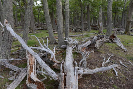 lago: Fallen trees on the shore of Lago Blanco. Stock Photo