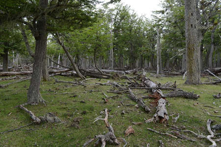 ail: Fallen trees on the shore of Lago Blanco. Chile Stock Photo