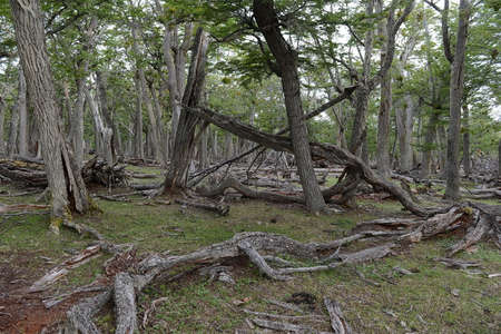 Magellan Forest. Tierra del Fuego