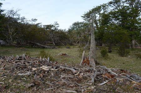 lago: Fallen trees on the shore of Lago Blanco. Chile Stock Photo