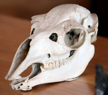 magallanes: The skull of an ancient animal in the national Park Pali Aike in southern Chile.