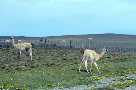 tierra del fuego: Guanaco in Tierra del Fuego