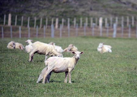fuego: Pasture for sheep in the village of Cameron. Tierra Del Fuego.