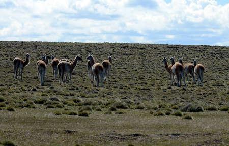 tierra del fuego: Guanaco in Tierra del Fuego.