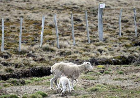 tierra del fuego: Sheep in Tierra del Fuego. Stock Photo