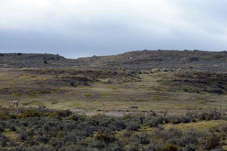 tierra del fuego: Guanaco near the village of Porvenir in Tierra del Fuego.