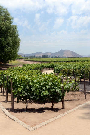 melchor: The vineyard of the winery Concho y Tora