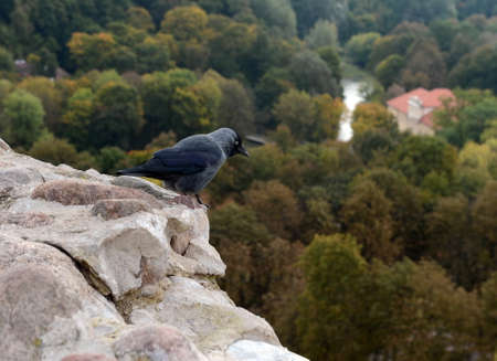 European jackdaw (Corvus monedula  Coloeus monedula) in Vilnius. Lithuania.