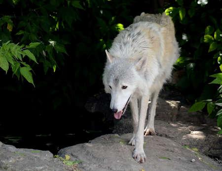 tundra wolf Stock Photo
