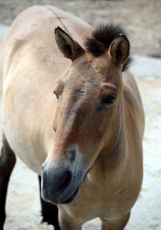 Przewalskis horse (Equus przewalskii)
