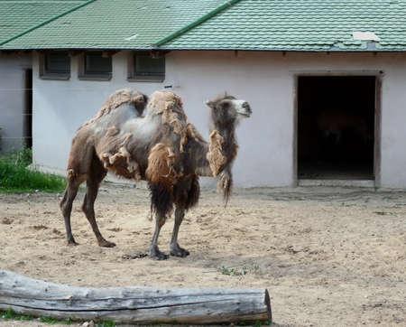Onlinewsj Bactrian camels