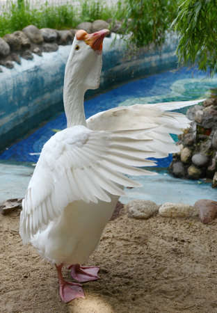 Goose of the Kholmogory breed