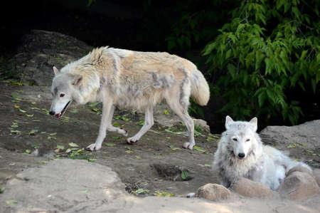 Tundra wolfs summer