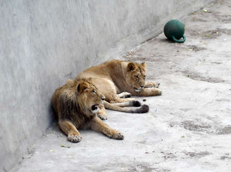 Lions at the Moscow Zoo.
