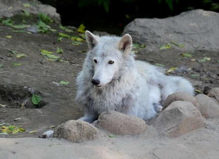 Tundra wolf summer Stock Photo