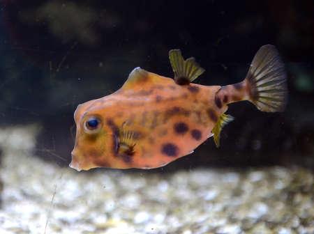 Fish Humpbacked body. (Tetrosomus gibboss) Stock Photo