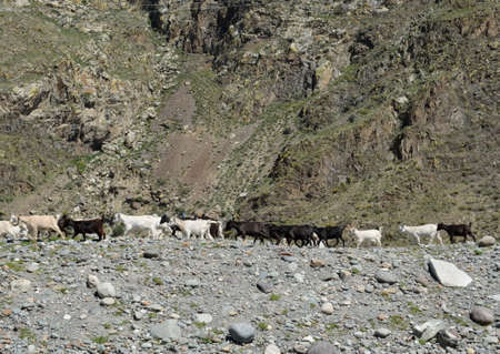 Goat Herd in the Altai Mountains