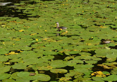 Duck among the water lilies at the Khimki Reservoir in Moscow Stock Photo