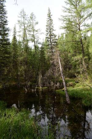 Taiga landscape, Aktash, Ulagansky District, Altai, Siberia, Russia