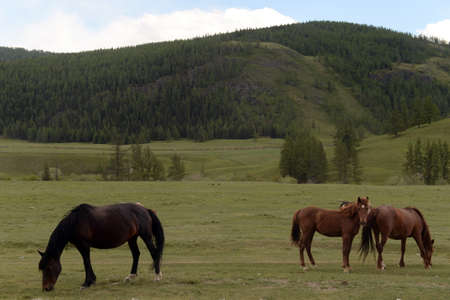 Horses in the mountains of Altai. Western siberia