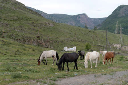 Horses on the outskirts of the village of Aktash in the Altai Republic