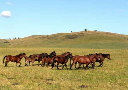 Horses in the foothills of the tigirek Ridge in the Altai region. Western siberia