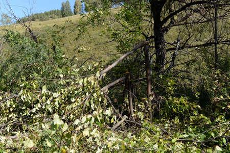 Broken bear barrel cherry on the Bank of mountain river Yarovka in Western Siberia