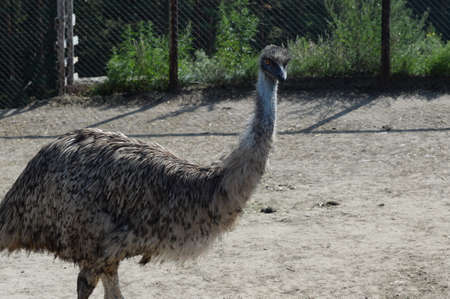 Australian Emu Ostrich at the Ostrich Ranch Contact Zoo in Barnaul