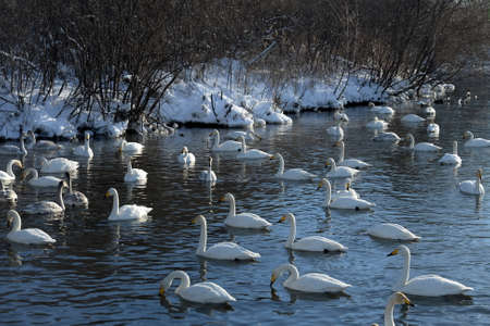 Whooper swans on wintering in the south of Western Siberia. Light Lake. The reserve