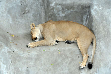Sleeping lioness in the Moscow Zoo