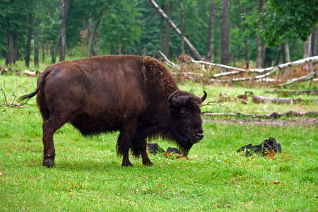 compatriot: Aurochs on the grass in the summer forest Stock Photo