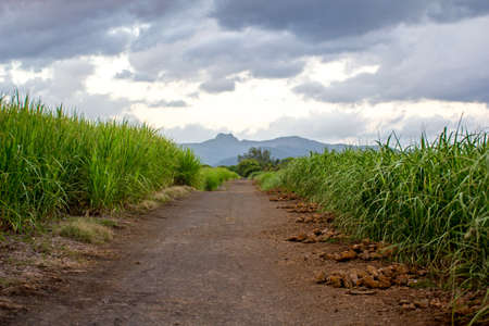 Road through the sugarcane field photo