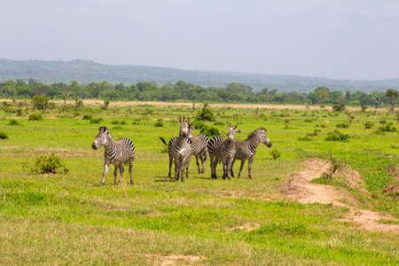 tribu: Tribu de cebra en la hierba verde Foto de archivo