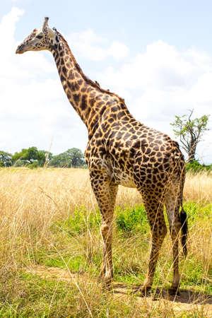 tallness: Giraffe goes near the road in african savanna