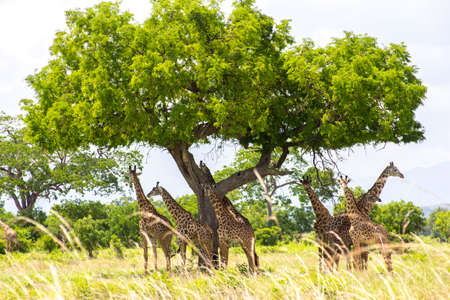 tallness: Group of giraffes have a rest under the big tree