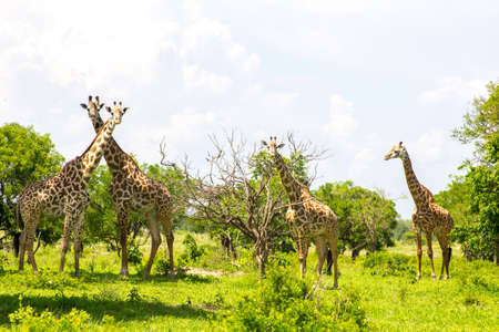 tallness: Group of giraffes in the grass Stock Photo