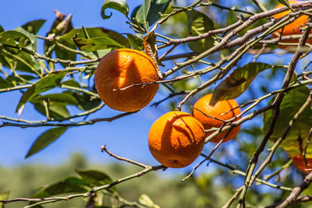 naranja arbol: Naranjo verde con naranja frutas jugosas