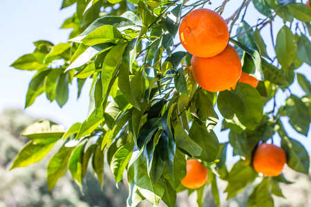 Green orange tree with juicy orange fruits Stock Photo