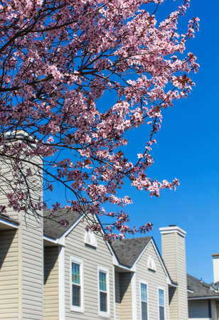 cherrytree: Blossoming cherrytree and typical american houses on the background