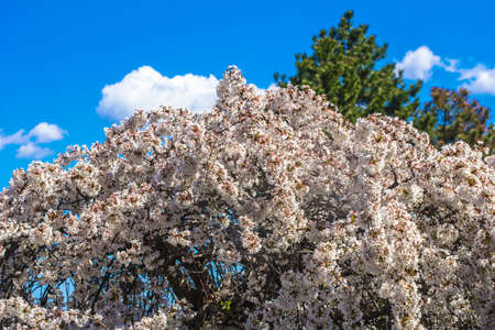 cherrytree: Blossoming cherry-tree and blue sky background Stock Photo