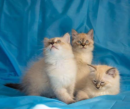 Three merry, mischievous kitten on a blue background